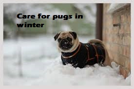winter care for pugs