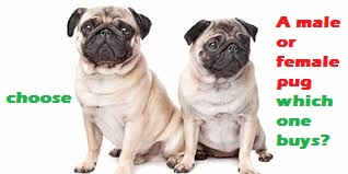 A male or female pug which one buys?