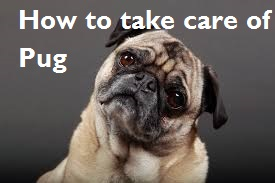 How to take care of Pug
