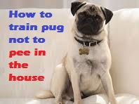How to train pug not to pee in the house