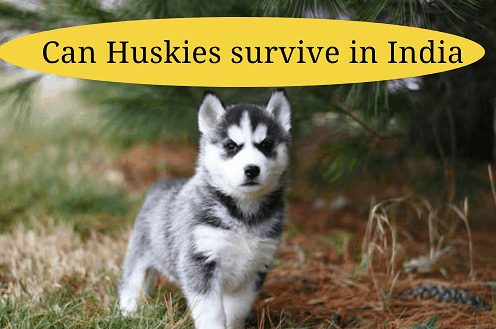 Can Huskies survive in India