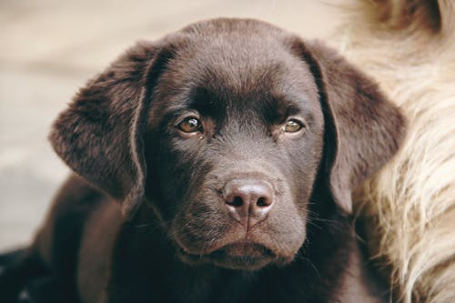 Indian dog names for Male Labrador