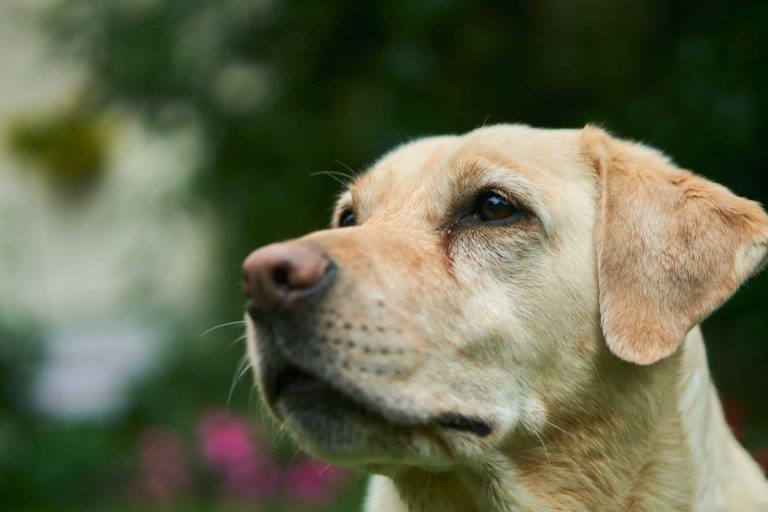 12 Most Popular Dog Breeds In India – [With Prices]