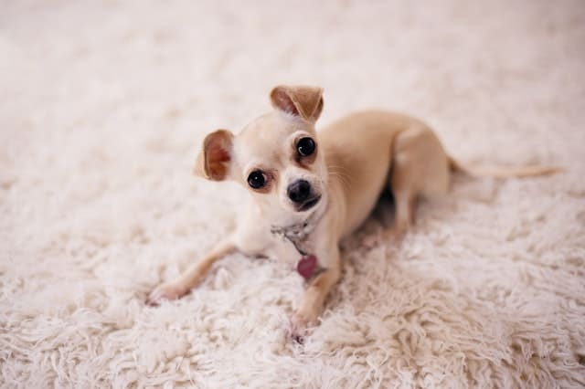 smallest dog breed in India