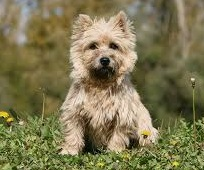rare Cairn Terrier  in India