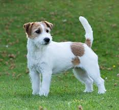 Ja ck Russell Terrier rare dog in India