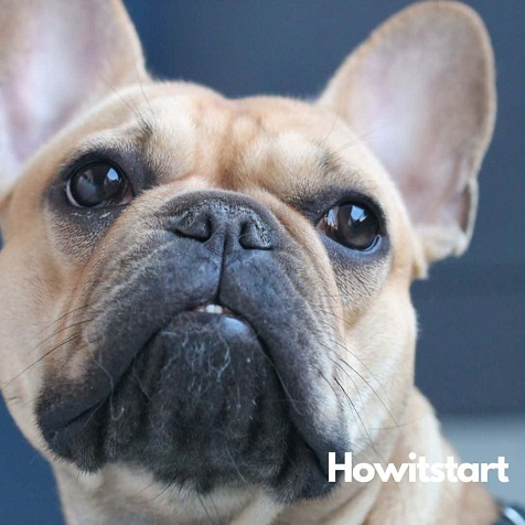 things influence French Bulldog puppy cost