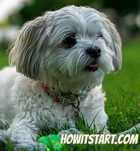 Maltipoo Puppy Price in India across all Major Cities
