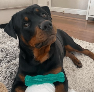 What is the price of a Rottweiler in India