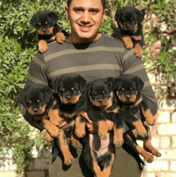 cost of Rottweiler puppy