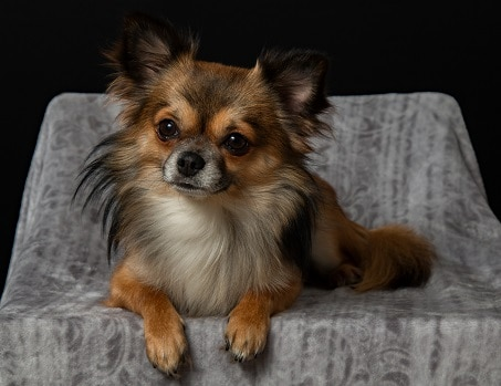 pet small dogs